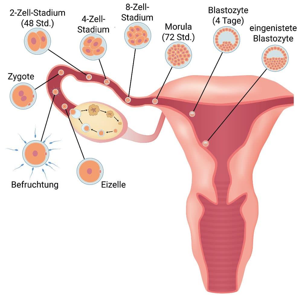 3 Ssw 3 Schwangerschaftswoche Anzeichen Ultraschall Und Infos